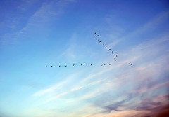 bird flock sml